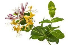 Bloemen van kamperfoelie, lat Loniceracaprifolium, op w wordt geïsoleerd dat stock afbeeldingen