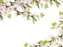 Bloemen van kers Royalty-vrije Stock Afbeelding