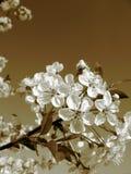 Bloemen van kers-boom Stock Fotografie