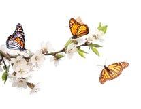 Bloemen van kers en monarchvlinders royalty-vrije illustratie