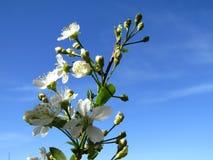 Bloemen van kers op blauwe hemel Royalty-vrije Stock Afbeeldingen
