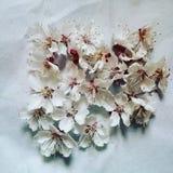 Bloemen van kersen Stock Foto's