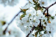 Bloemen van kersenboom royalty-vrije stock afbeelding