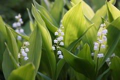 Bloemen van Lelietje-van-dalen, Convallaria-majalis royalty-vrije stock afbeeldingen