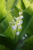 Bloemen van Lelietje-van-dalen, Convallaria-majalis Stock Afbeelding