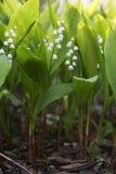Bloemen van Lelietje-van-dalen, Convallaria-majalis Royalty-vrije Stock Fotografie