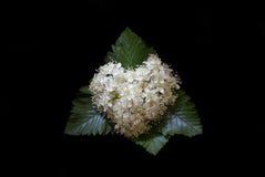 Bloemen van lijsterbes in de vorm van hart op een zwarte achtergrond, close-up Royalty-vrije Stock Foto