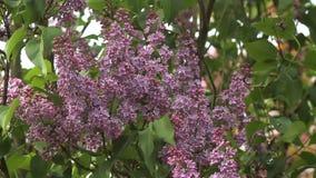 Bloemen van lilac boom stock footage