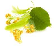 Bloemen van linde-boom Stock Fotografie