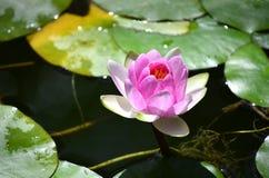 Bloemen van lotusbloem stock afbeelding