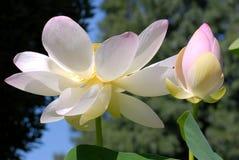Bloemen van lotusbloem stock afbeeldingen