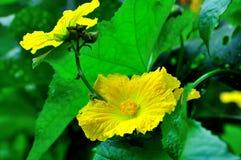 Bloemen van Luffa royalty-vrije stock foto's