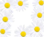 Bloemen van madeliefje Royalty-vrije Stock Fotografie
