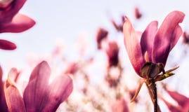 Bloemen van Magnolia in een tuin stock foto