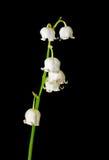 Bloemen van Mei-lelie 1 Royalty-vrije Stock Afbeeldingen