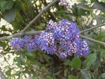 Bloemen van Memecylon-umbellatum Royalty-vrije Stock Afbeelding