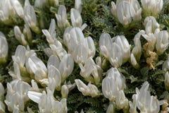 Bloemen van milkvetchastragalus angustifolius Stock Foto's
