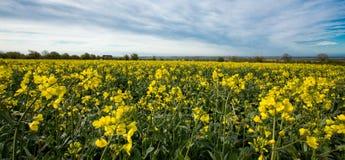 Bloemen van olie op raapzaadgebied met blauwe hemel en wolken!! royalty-vrije stock foto's