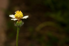 Bloemen van onkruid Stock Foto