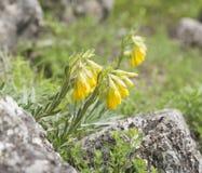 Bloemen van Onosma Crimean Stock Afbeelding