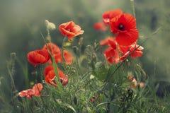 Bloemen van papaverstruik stock afbeeldingen
