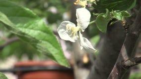 Bloemen van perzik in de Overzeese Tuin van Bourgas, Bulgarije stock videobeelden