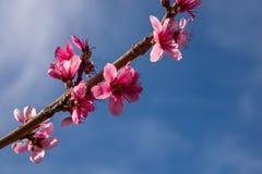 Bloemen van perzikbloesem op het gebied royalty-vrije stock afbeelding