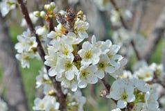 Bloemen van pruim 1 Royalty-vrije Stock Afbeeldingen