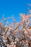 Bloemen van pruimroze Stock Foto's