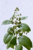 Bloemen van Pterocarpus-santalinus Stock Afbeeldingen