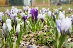 Bloemen van purpere Krokus - sneeuwklokje Stock Fotografie