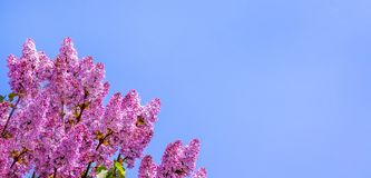 Bloemen van purpere sering op de achtergrond van de blauwe hemel De ruimte van het exemplaar stock afbeeldingen