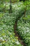 Bloemen van Ramsons of Wilde ursinum van het Knoflookallium in Cardiff royalty-vrije stock afbeelding
