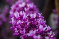 Bloemen van redbud stock foto's