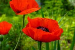 Bloemen van rode papaver op achtergrond van groen gras Royalty-vrije Stock Afbeelding