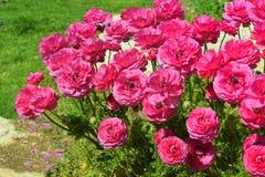 Bloemen van rode pioenen Royalty-vrije Stock Foto's