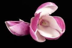 Bloemen van roze die Magnolia op zwarte achtergrond, dichte omhooggaand wordt geïsoleerd stock afbeelding