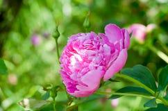 Bloemen van roze pioen in de huistuin Bloemen van roze pioen royalty-vrije stock foto