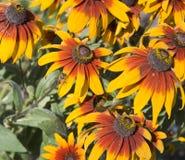 Bloemen van rudbeckia. stock foto's
