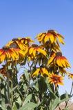 Bloemen van rudbeckia. royalty-vrije stock foto