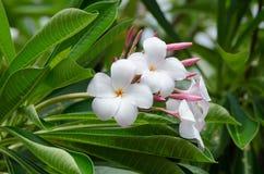 Bloemen van schoonheids de witte en roze plumeria Royalty-vrije Stock Afbeeldingen