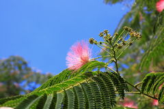 Bloemen van silktree Stock Afbeelding
