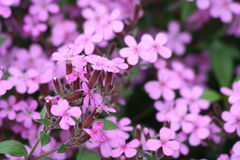 Bloemen van soapwort Stock Fotografie