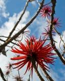 Bloemen van speciosa Erythrina stock foto's