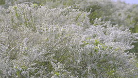 Bloemen van Spiraea, in het Park van Showa Kinen, Tokyo, Japan stock video