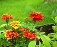 Bloemen van Tagetes-patula Stock Foto's