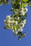 Bloemen van tot bloei komende boom Stock Afbeelding
