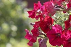Bloemen van Tuin Royalty-vrije Stock Foto