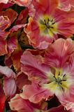 Bloemen van tulpen stock fotografie