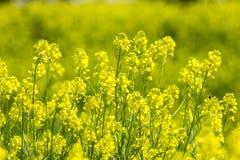 Bloemen van verkrachting Stock Foto